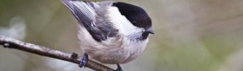 Willow tit (credit: The Wildlife Trusts)